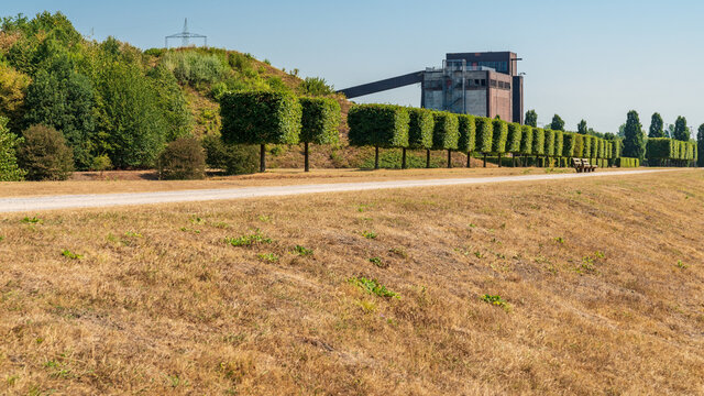 A row of pruned trees near a parched meadow, and the ruin of an old coal bunker in the background, seen in the Nordsternpark, Gelsenkirchen, North Rhine-Westfalia, Germany