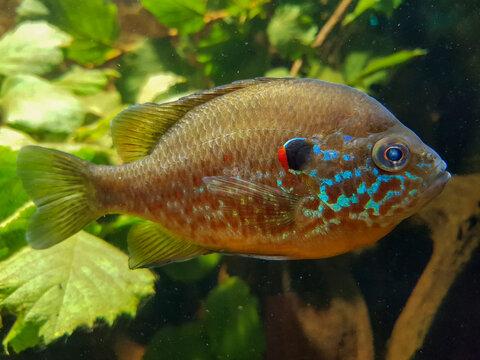pumpkinseed sunfish (in german Gemeiner Sonnenbarsch also Kürbiskernbarsch) Lepomis gibbosus
