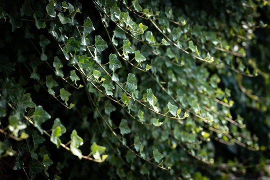 A wall of common ivy. Ivy grows on the wall. Ivy texture in dark romantic tones. Ivy leaves background european ivy, english ivy or ivy Hedera helix