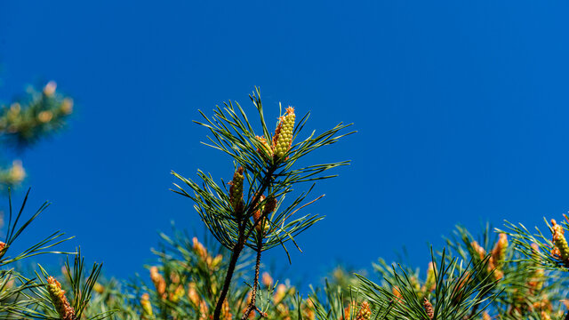 Pine branch with green bumps.