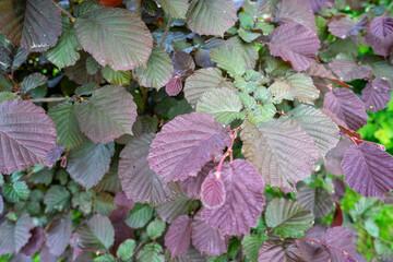 Liście - orzech laskowy, ogrodowy, krzew Leaves - hazelnut, garden