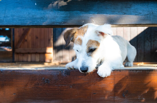 Young Jack Russell looking down on copy space