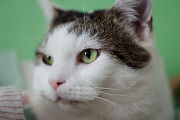 Fototapeta portret kota rasy europejskiej obraz