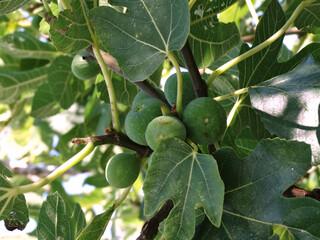 Figi na drzewie w Chorwacji
