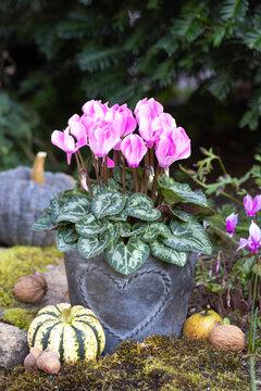 pink Alpenveilchen im Zink-Topf im Garten