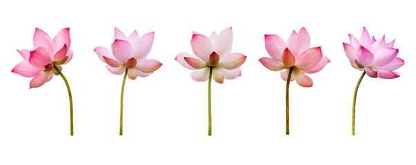 Fototapeta Pink Lotus flower collections isolated on white background. Nature concept For advertising design and assembly. File contains with clipping path so easy to work. obraz