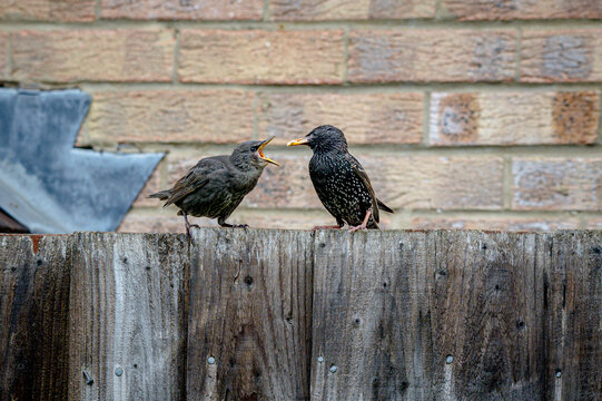 Urban wildlife, juvenile starling bird perched on garden fence with adult feeding