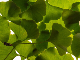 Fototapeta Green ginkgo leafs - Ginkgo biloba on white background obraz