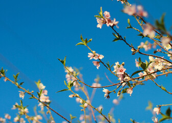 Closeup shot of blooming cherry blossom branches on a blue sky background