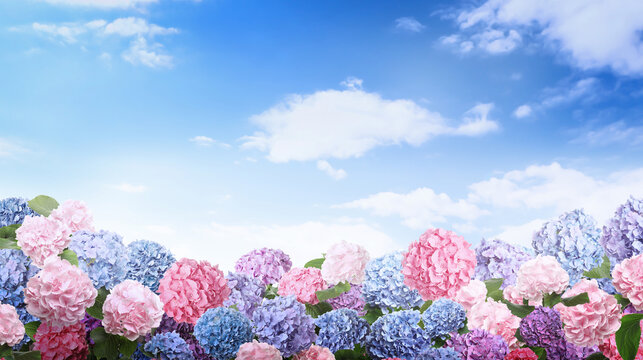 Many different beautiful hortensia flowers against blue sky