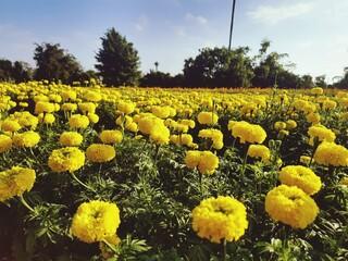 Fototapeta Close-up Of Yellow Flowers Growing In Field obraz