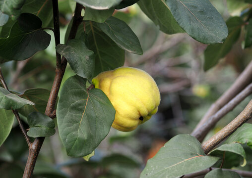 Ripening quince fruits on branches in the garden