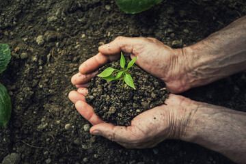 Fototapeta Gardener hands holding fertile soil with grown green seedling. Environment concept. Bio farming, global eco food supply issue. Agriculture problems after drought season. Hunger and malnutrition obraz