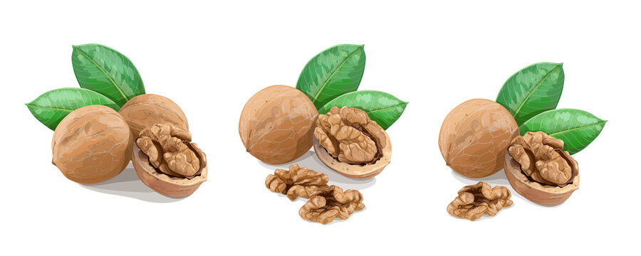 Walnuts with leaves on white background. Vector Illustration.