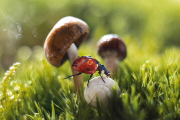 Fototapeta Selective focus of a ladybug and a land snail against mushrooms and gra obraz