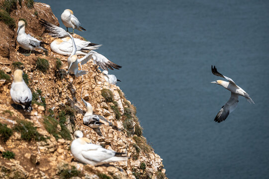 Northern gannet, morus bassanus, coming into land on a cliff edge