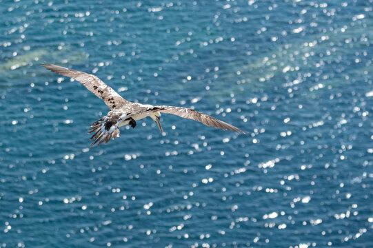 Year 2 - 3 adult northern gannet, morus bassanus, in flight