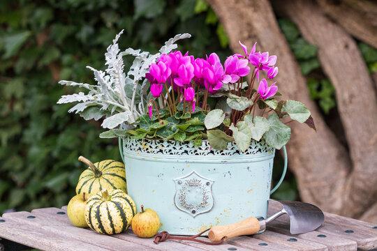 pink Alpenveilchen im vintage Pflanztopf im Garten