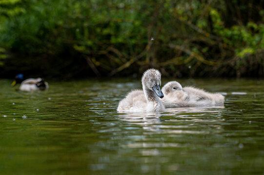 Cygnets of mute swans, cygnus olor