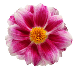 Fototapeta dahlia isolated on a white background with a clipping path obraz
