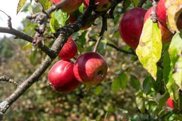 Fototapeta Brzydkie jabłka obraz