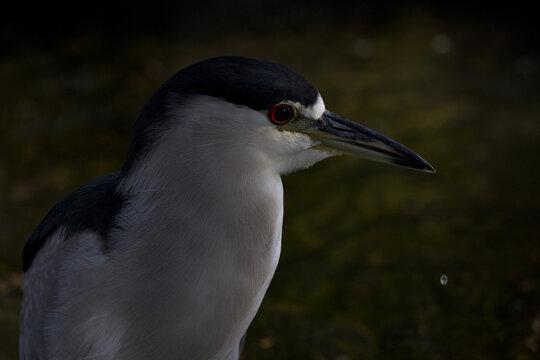 Dark background and falling water drop enhance Night Heron portrait taken at urban Reid Park in Tucson, Arizona