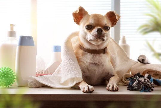 Dog grooming salon with chihuahua on wooden table