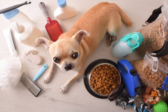 Food and accessories for dog and chihuahua on table elevated