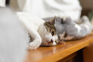 Obraz 変な姿勢の猫 キジトラ猫 - fototapety do salonu