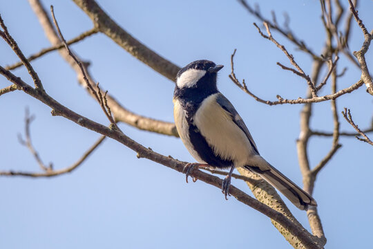 Japanese tit perched on a branch