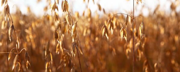 Fototapeta Ripe oatmeal in the field, ready for harvest. obraz