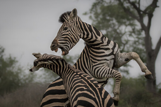 Two zebras, Equus quagga, raise up on their hind legs and fight