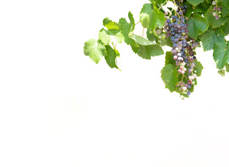 Vine arbor with grapes against white background