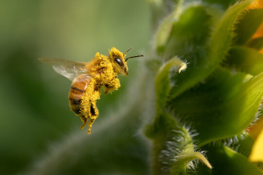 honey bee flying covered with pollen of sunflower