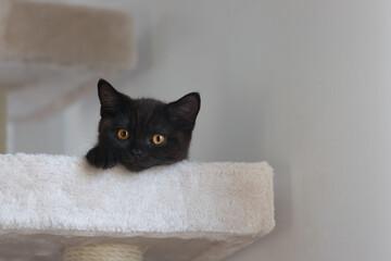 Fototapeta Młody czarny kot brytyjski z pomarańczowymi oczami, na drapaku obraz