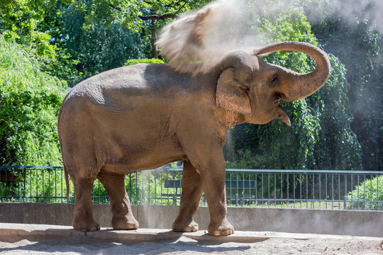 Elephant throwing dust at his back for sun protection