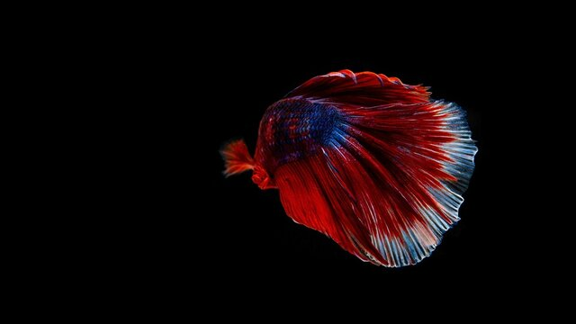 Siamese betta fish is the national fish of Thailand. It is a fighter fish. The distinctive feature of this figure has three colors: white-red-blue.