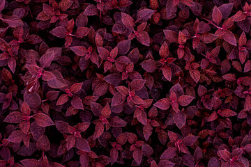 closeup nature view of purple leaves background, dark nature concept