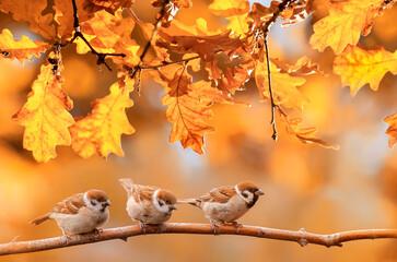 Fototapeta little funny birds are sitting in the autumn garden among the golden foliage obraz