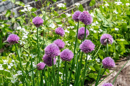 Chives (Allium schoenoprasum) a spring summer flowering plant with a pink purple flower grown in a vegetable garden for use as a herb in cooking, stock photo image