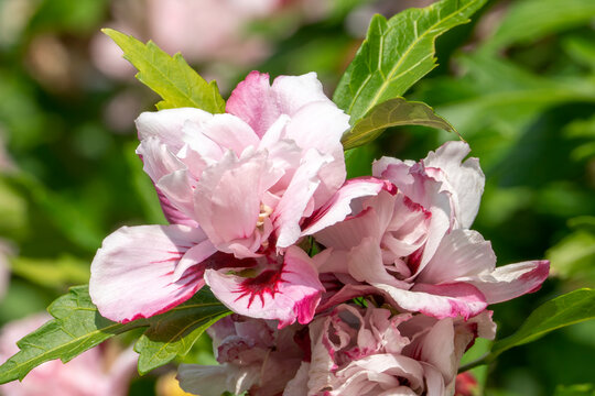Hibiscus 'Lady Stanley' a summer flowering shrub plant with a pink red summertime flower commonly known as rose of Sharon, stock photo image