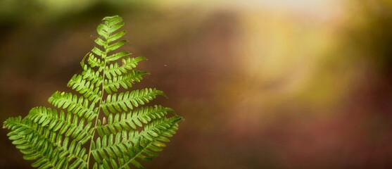 Tekstura zielonego jesiennego liścia paproci z naturalnym nieostrym tłem na skraju leśnej polany. Panorama.