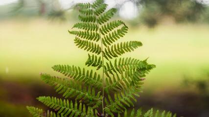 Tekstura zielonego jesiennego liścia paproci z nieostrym  rozświetlonym słońcem tłem. Tapeta., obraz