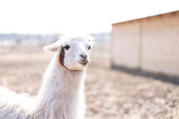 Cute animal alpaka lama on farm outdoors