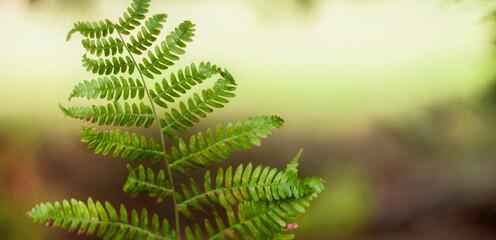 Fototapeta Tekstura zielonego jesiennego liścia paproci z nieostrym  rozświetlonym słońcem tłem. Panorama, tapeta. obraz
