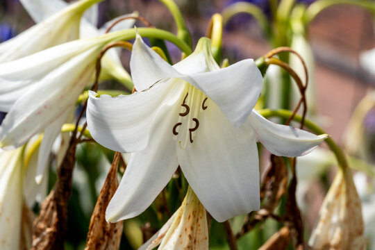 Crinum x Powellii alba a summer autumn fall flowering bulbous plant with a white trumpet like summertime flower commonly known as swamp lily, stock photo image