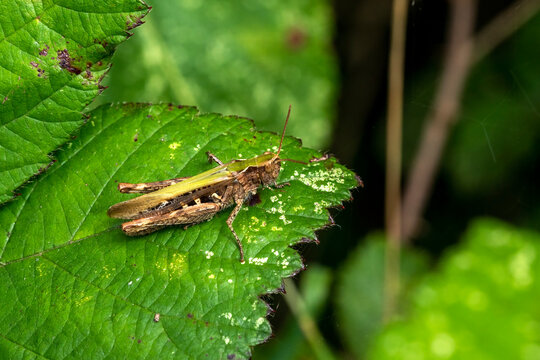 Common field grasshopper (Chorthippus brunneus) a common green brown insect species found in fields meadows hedges and gardens, stock photo image