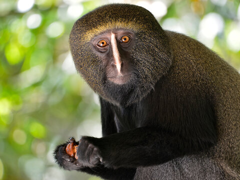 Portrait owl-faced monkey (Cercopithecus hamlyni) holding a fruit in his hands
