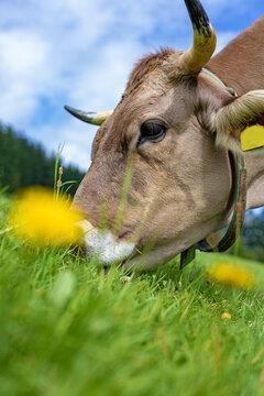 Allgäu - Kuh - Kopf - Blumen - Wiese - Hörner
