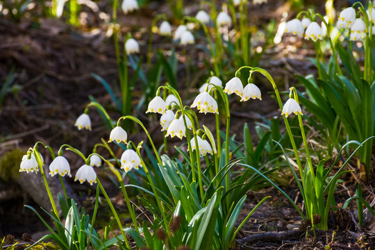 beautiful nature background in spring season. close up photo of summer snowflake flowers on the glade among trees